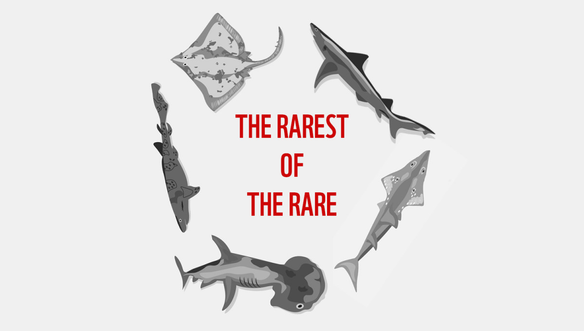 The Rarest of the Rare - 5 sharks and rays on the brink of extinction