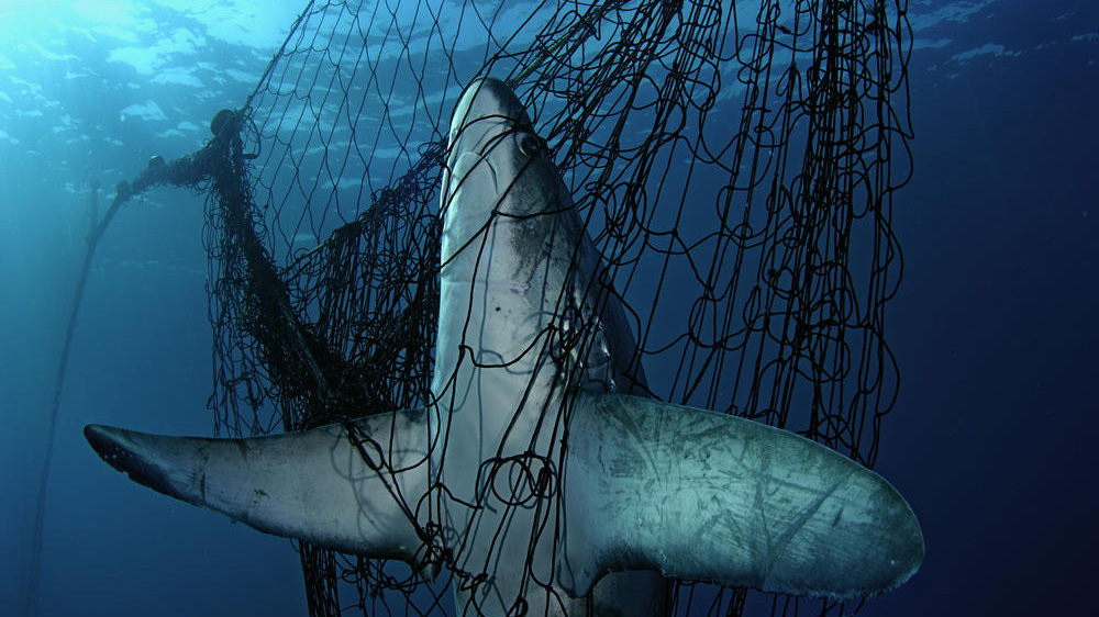 More than 300 Species of Sharks and Rays Now Threatened with Extinction