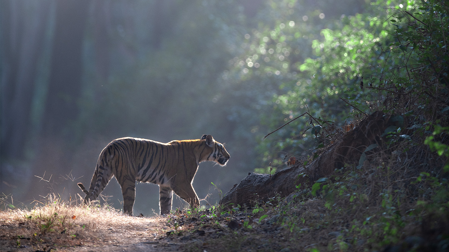 5 incredible ways young people are saving tigers